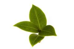 Feuille de thé fraîche Photographie stock libre de droits