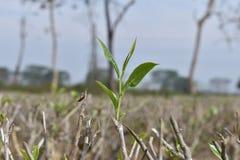 Feuille de thé nouvellement cultivée après élagage photos libres de droits