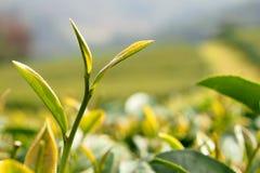 Feuille de thé verte Images libres de droits