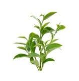 Feuille de thé verte d'isolement sur le fond blanc Photos libres de droits