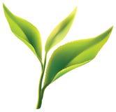 Feuille de thé verte fraîche sur le fond blanc Images libres de droits