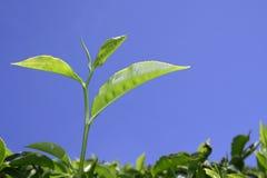 Feuille de thé à la plantation dans munnar Photos stock