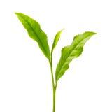 Feuille de thé verte Photographie stock