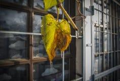 Feuille de vigne en hiver tôt images stock