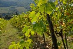 Feuille de vignoble vert dans le chianti photographie stock