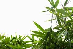 Feuille en bambou verte, texture tropicale verte de feuillage d'isolement sur le fond blanc du dossier avec le chemin de coupure images stock