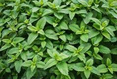 Feuille en bon état de vert d'usine de menthe verte Image libre de droits