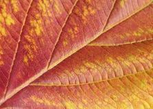 Feuille en gros plan d'automne Image libre de droits