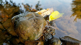 Feuille en pierre en rivière Photos libres de droits