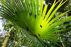 Feuille ensoleillée du Livistona australien de paume d'arbre de chou australis Fond tropical Photo libre de droits