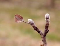Feuille et bourgeon de Brown sur une brindille de pomme Photos stock