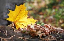 Feuille et champignons d'érable sur le rondin de forêt Image libre de droits