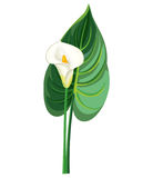 Feuille et fleur de calla Illustration Libre de Droits