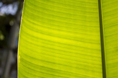 Feuille et lumière du soleil de banane Image stock