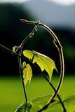 Feuille et vigne vertes fraîches sur le fond de tache floue photographie stock libre de droits
