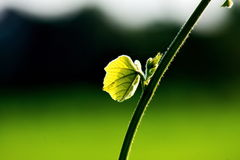 Feuille et vigne vertes fraîches sur le fond de tache floue photo libre de droits