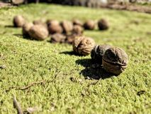Feuille extérieure verte de parc d'agriculture d'environnement d'herbe d'écrou de nature photographie stock libre de droits