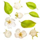 Feuille Fleurs de pomme Vert Ressort D'isolement sur le fond blanc Pour votre conception Un objet Image stock