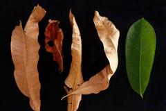 Feuille fraîche parmi les feuilles séché et de morts Photo libre de droits