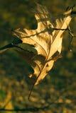 Feuille fragile de chêne d'automne Image libre de droits