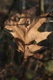 Feuille fragile de chêne d'automne Photographie stock libre de droits
