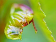 Feuille humide de raisin Image libre de droits