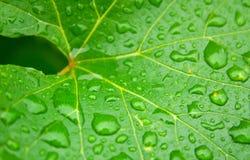 Feuille humide de vigne Photo libre de droits