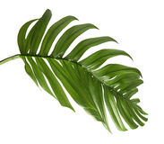 Feuille hybride de philodendron d'isolement sur le fond blanc Photos stock