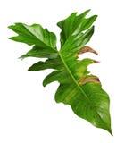 Feuille hybride exotique de philodendron, feuilles vertes de philodendron d'isolement sur le fond blanc photos libres de droits