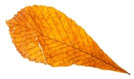 feuille jaune cassée par automne d'arbre de marron d'Inde Photos stock