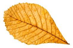 feuille jaune d'automne de l'arbre de marron d'Inde d'isolement Image libre de droits