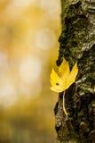 Feuille jaune d'automne sur un tronc d'arbre avec l'écorce Photographie stock libre de droits
