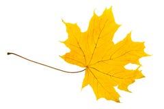 Feuille jaune d'un érable photographie stock libre de droits
