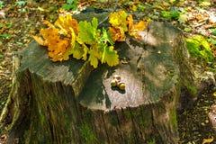 Feuille jaune de chêne d'automne sur un tronçon dans la forêt, sur un gland de chêne de feuille, saison d'automne Image stock