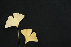Feuille jaune de Ginkgo sur un fond noir d'isolement Photo stock