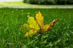 Feuille jaune de marple sur l'herbe verte Photos libres de droits