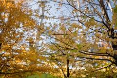 Feuille jaune des érables en automne au parc d'Ueno images libres de droits
