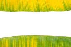 Feuille jaune et verte de banane Images libres de droits