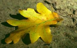 Feuille jaune et verte de chêne au sol photographie stock libre de droits