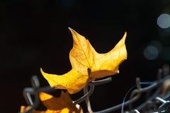 Feuille jaune rougeoyant au soleil Photographie stock