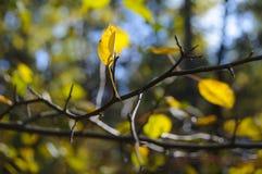 Feuille jaune sur la branche d'arbre nue Photo stock