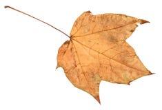 Feuille jaune tombée sèche d'automne d'arbre de viburnum photographie stock