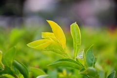 Feuille - le dessus d'un arbre vert clair Photos stock
