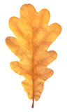 Feuille naturelle de chêne d'automne sur le blanc photos libres de droits