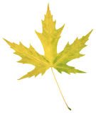 Feuille naturelle de peuplier d'automne sur le blanc Images libres de droits