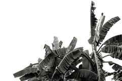 Feuille noire et blanche de banane, texture tropicale verte de feuillage d'isolement sur le fond blanc du dossier avec le chemin  photographie stock libre de droits