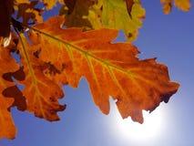 Feuille orange de chêne sous la vue du soleil de vers le bas Photographie stock libre de droits