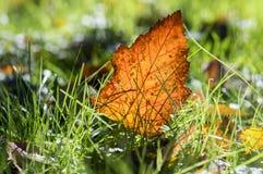 Feuille orange lumineuse d'automne dans l'herbe, contre-jour, feuille d'aubépine contre la lumière du soleil Image stock