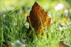 Feuille orange lumineuse d'automne dans l'herbe, contre-jour, feuille d'aubépine contre la lumière du soleil Images stock