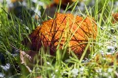 Feuille orange lumineuse d'automne dans l'herbe, contre-jour, feuille d'aubépine contre la lumière du soleil Photos libres de droits